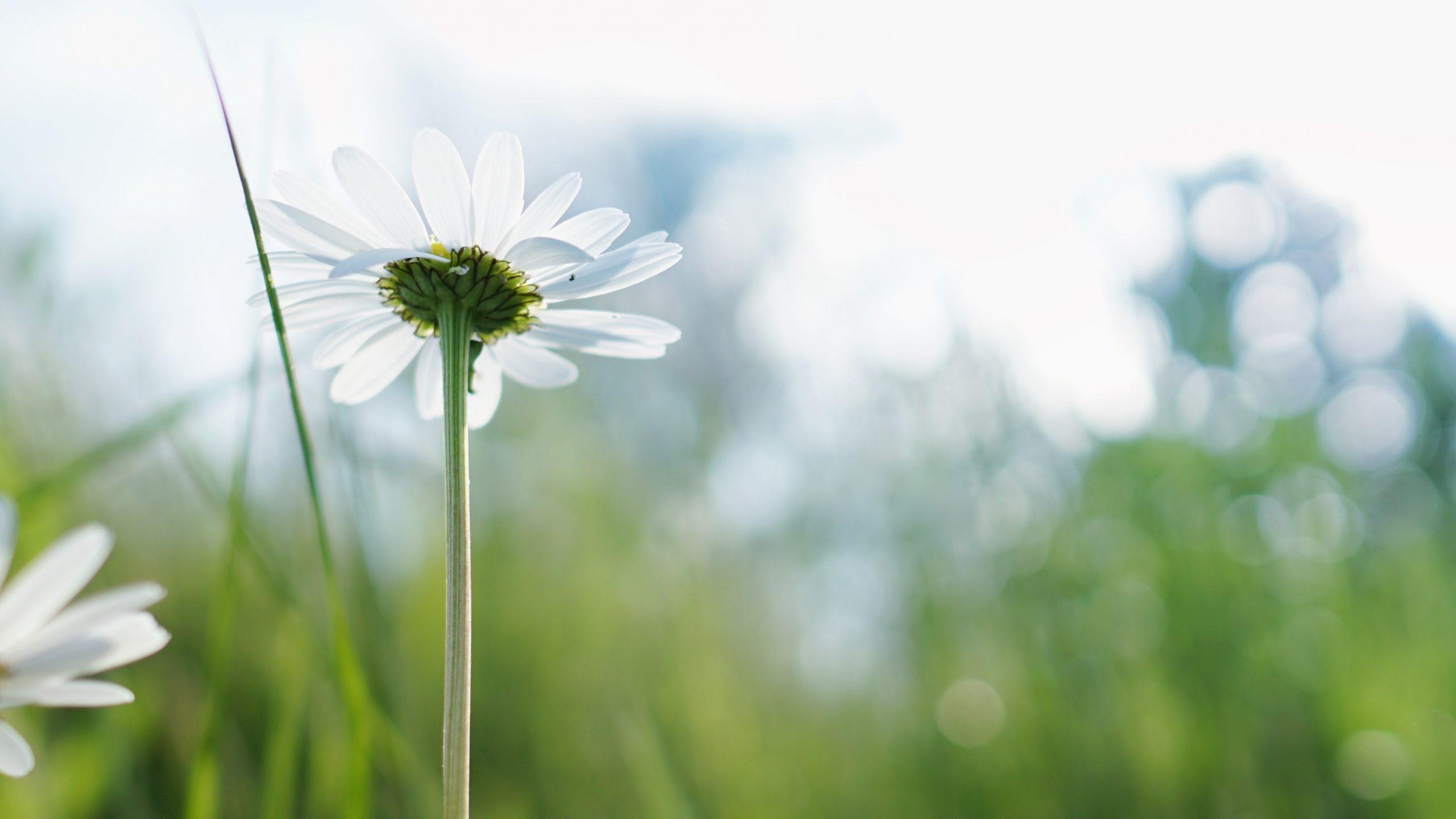 white daises closeup